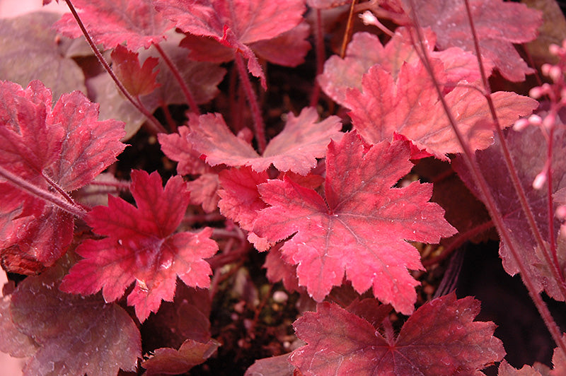 Heucherella Sweet Tea 1 gallon