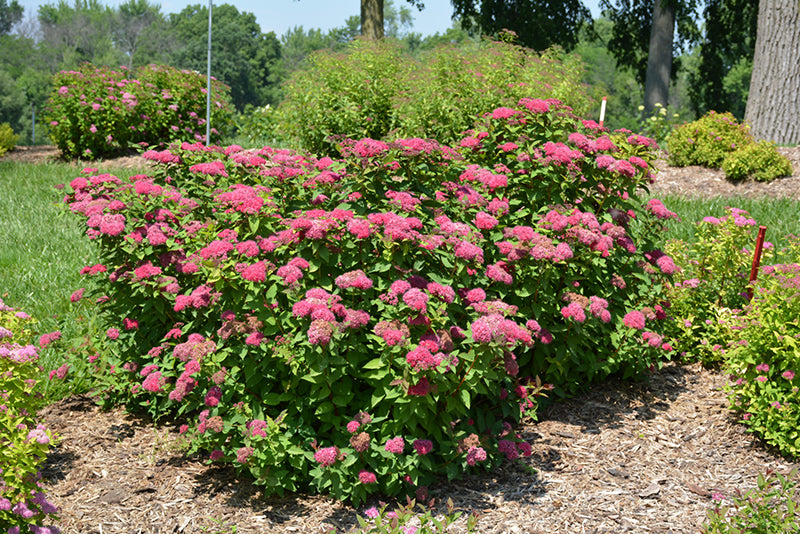 Spirea Double Play Red PW 2gal