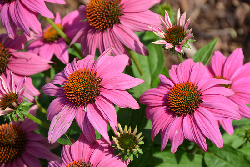Coneflower Pow Wow Wildberry 1 gallon