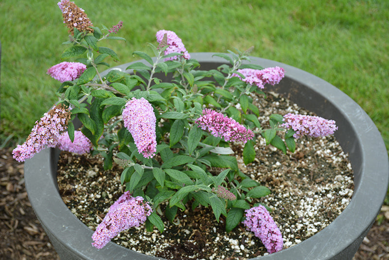 Butterfly Bush Pugster Pink PW 2 gallon