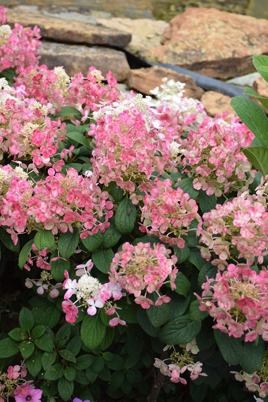 Hydrangea Little Quick Fire PW 3 gallon