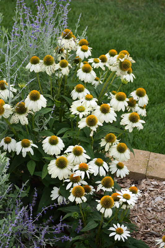 Coneflower Pow Wow White 1 gallon