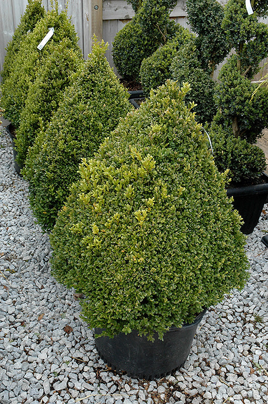 Boxwood Cone Pyramid 60cm 5 gallon