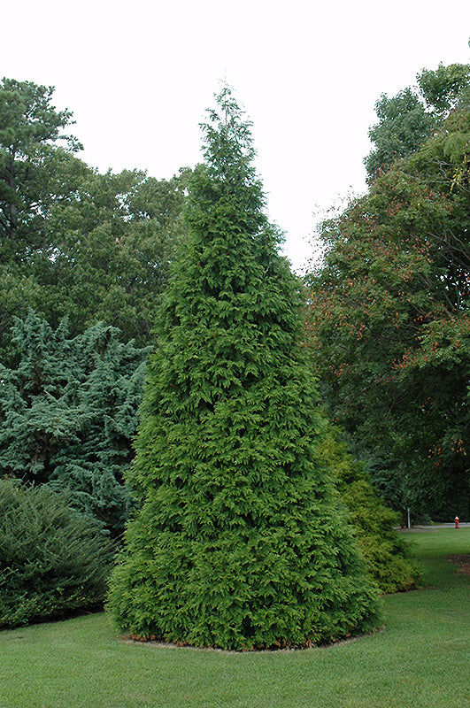 Cedars Green Giant 6' 10 gallon