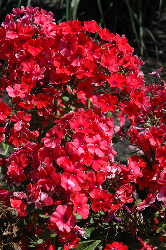 Phlox Summer Orange Perfection 1 gallon