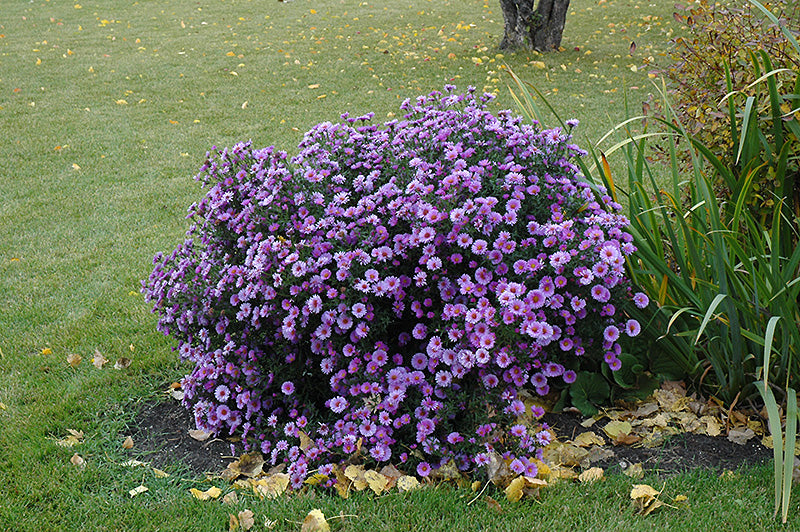 Aster Purple Dome 1 gallon