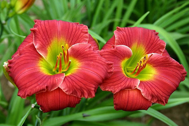 Daylily  Red Hot Returns 1 gallon