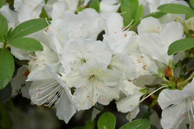 Azalea Girards Pleasant White 2gal
