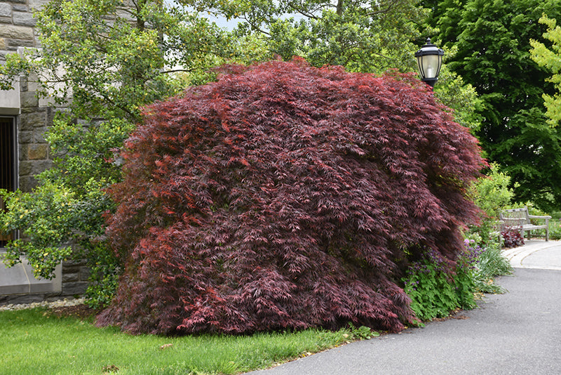 Japanese Maple Tamukeyama