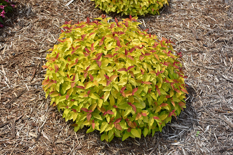 Spirea Double Play Candy Corn PW 2 gallon