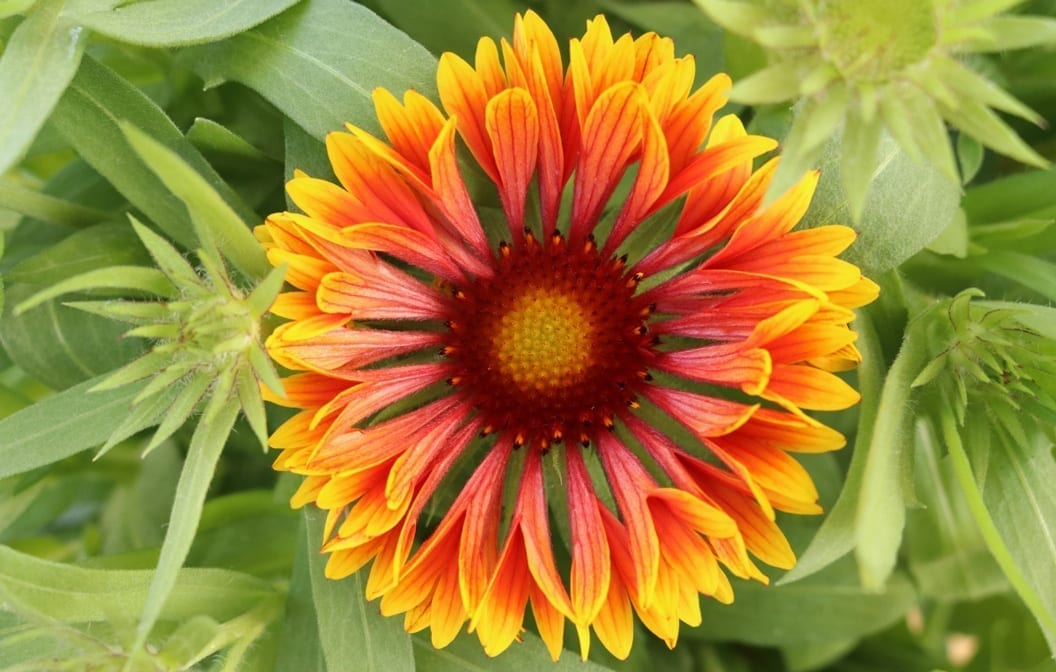 Gaillardia Blanketflower Spintop Copper Sun 1 gallon