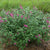 Butterfly Bush Miss Ruby PW 2 gallon