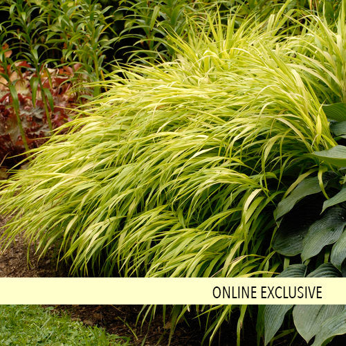 Hakone J Forest Grass All Gold 1 gallon