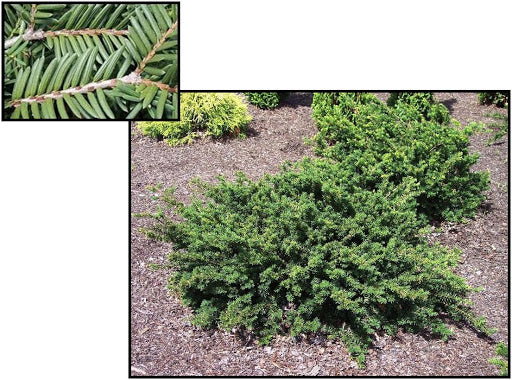 Yew Emerald Spreader 3 gallon