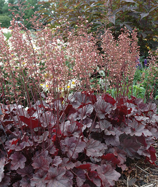 Heuchera Grape Expectations 1 gallon