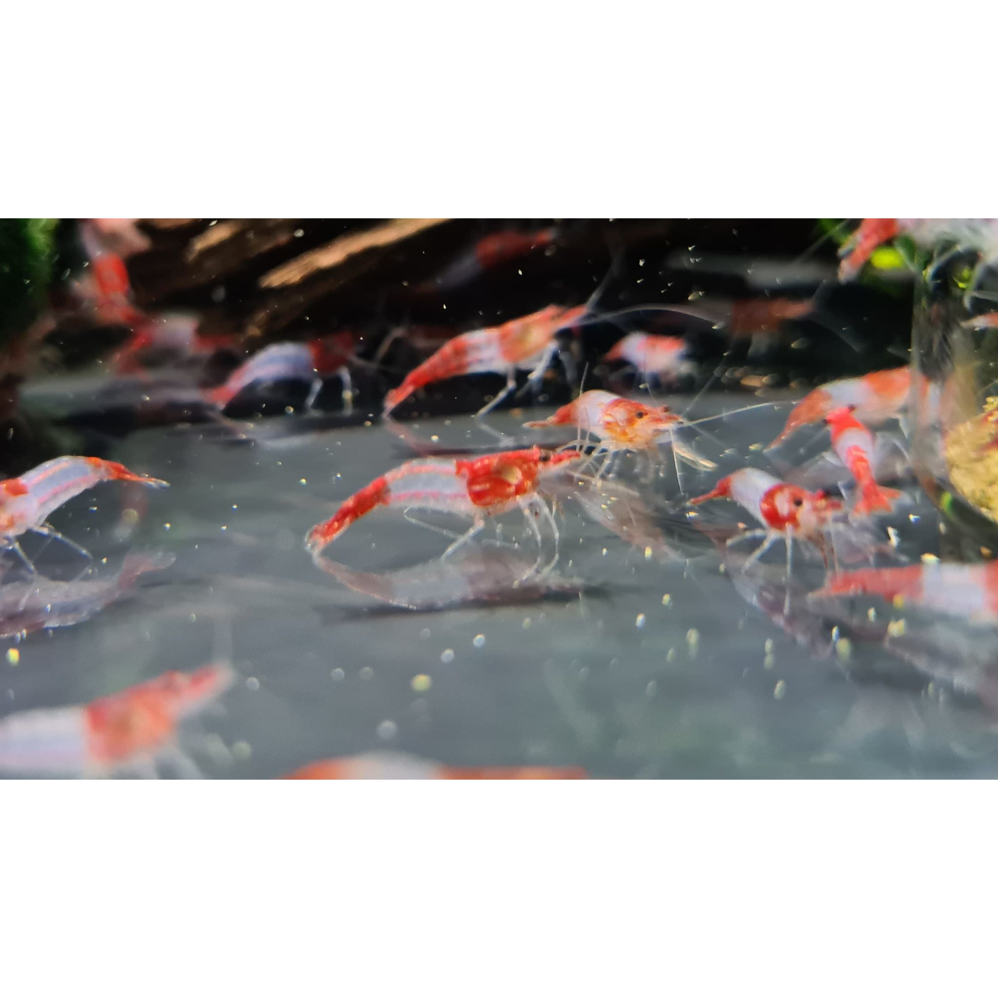 Red Rilli shrimp