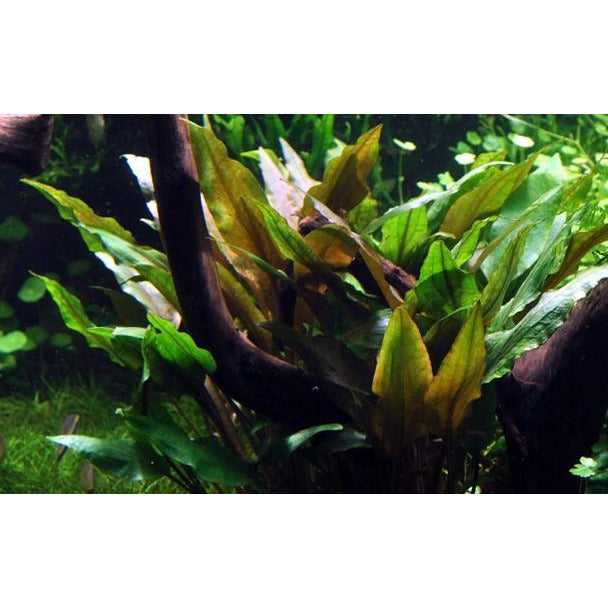Tropica Cryptocoryne Undulata Broad Leaves