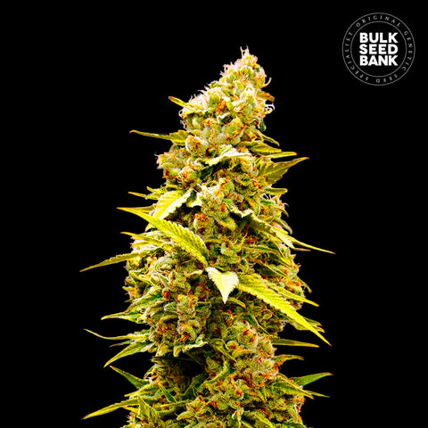 Banana Monkey Feminized 5 Seeds