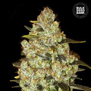 Psychedelic Feminized Autoflower 1 Seed