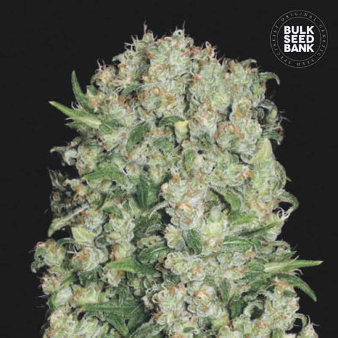 White Prussian Feminized 1 Seed