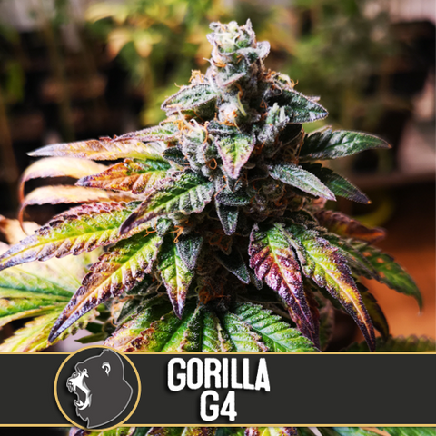 Blimburn Gorilla G4 Feminized Autoflower 3 Seeds