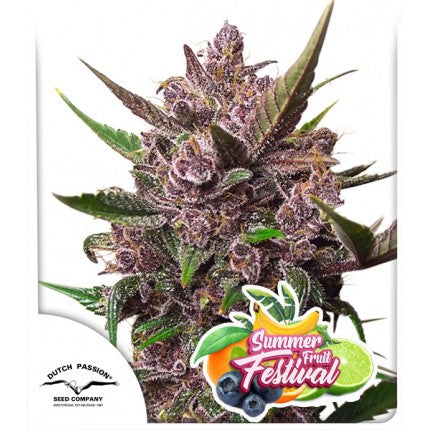 Dutch Passion | Auto Blackberry kush 3 Seeds (Sealed breeders pack)