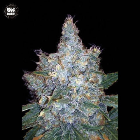 Blueberry Berry Feminized Autoflower 1 Seed