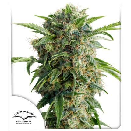Dutch Passion | Auto Daiquiri Lime 3 Seeds (Sealed breeders pack)