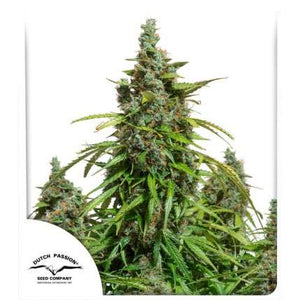 Dutch Passion | Auto Mazar 3 Seeds (Sealed breeders pack)
