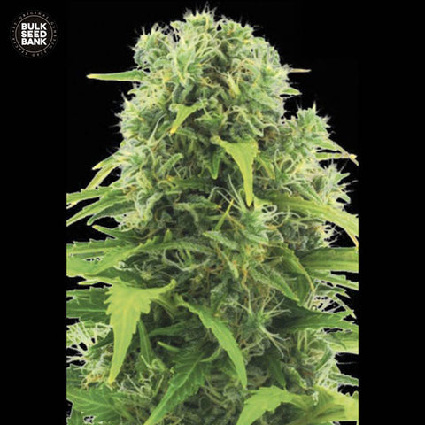 Northern Lights Feminized Autoflower 1 Seed