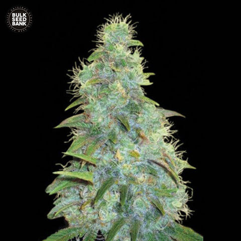 Sweet Tooth Feminized Autoflower 1 Seed