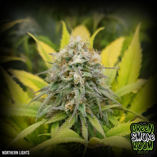 NORTHERN LIGHTS FEMINISED SEEDS x 3