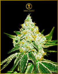 Northern Sky Feminized Autoflower 10 Seeds
