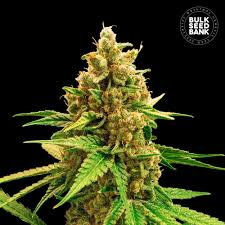 Winning Cake Feminized 5 Seeds