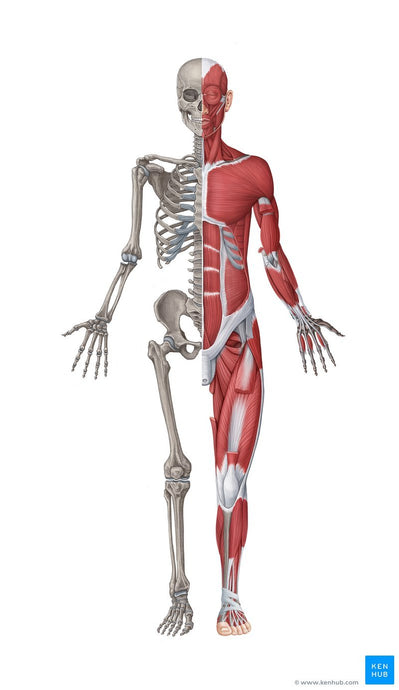 MUSCULAR AND SKELETAL SYSTEMS