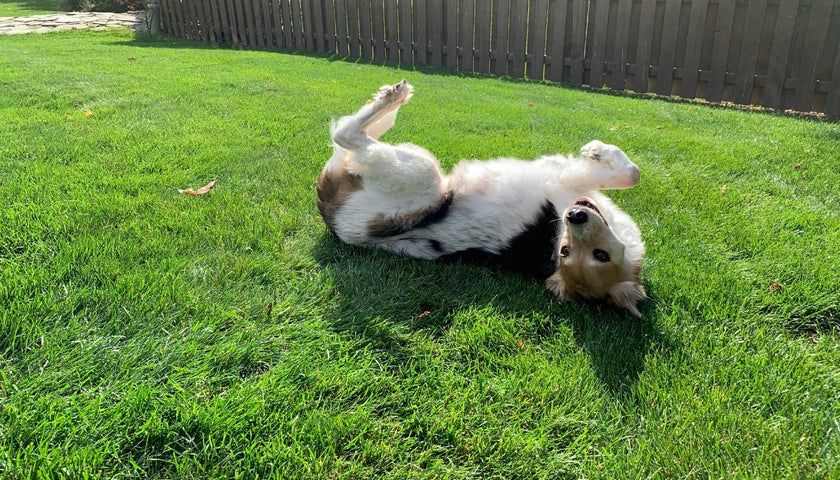 Dog laying in grass.