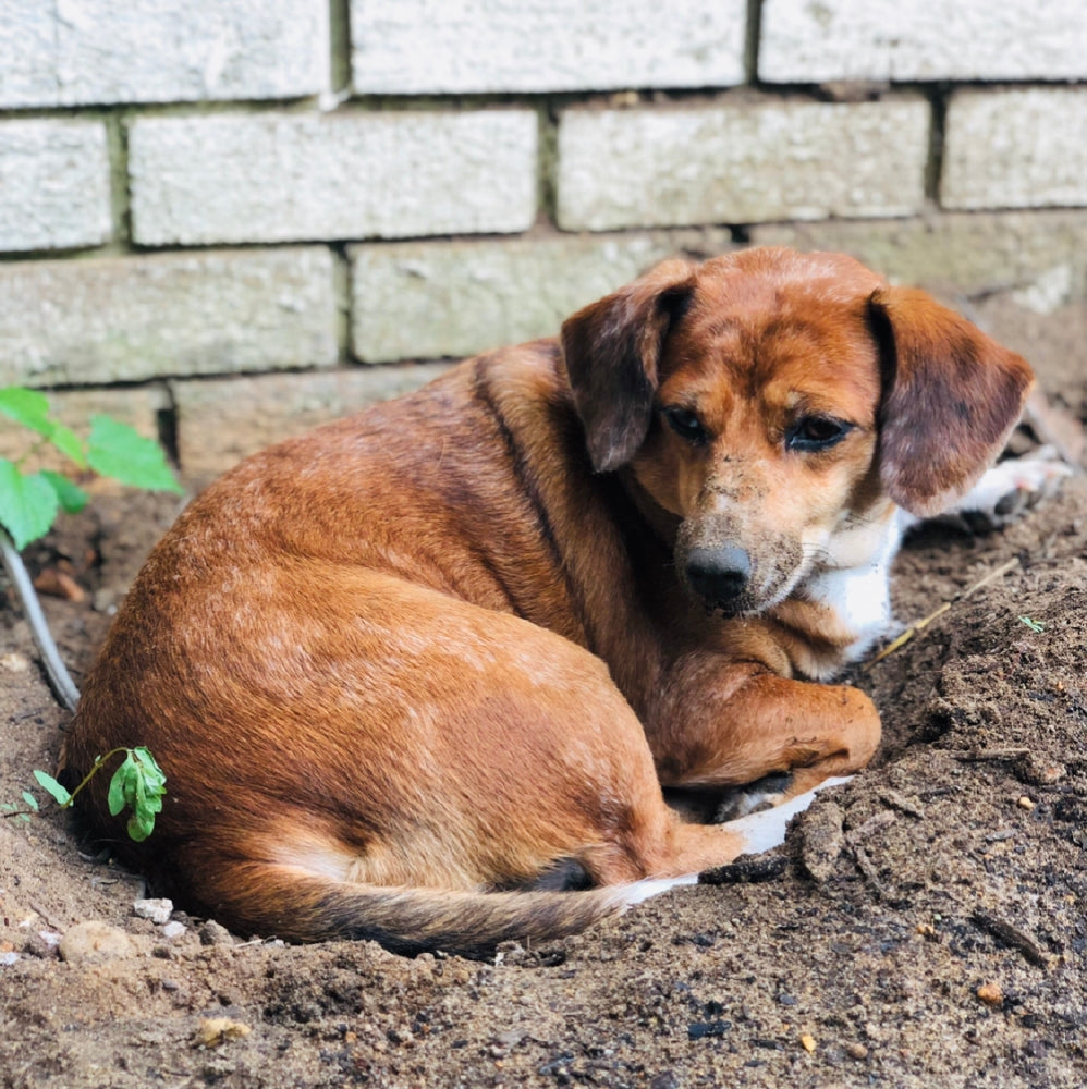 Dog laying in dirt.