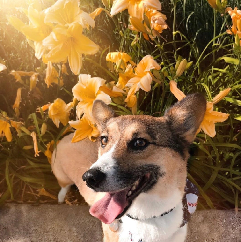 Dog standing by yellow flowers.