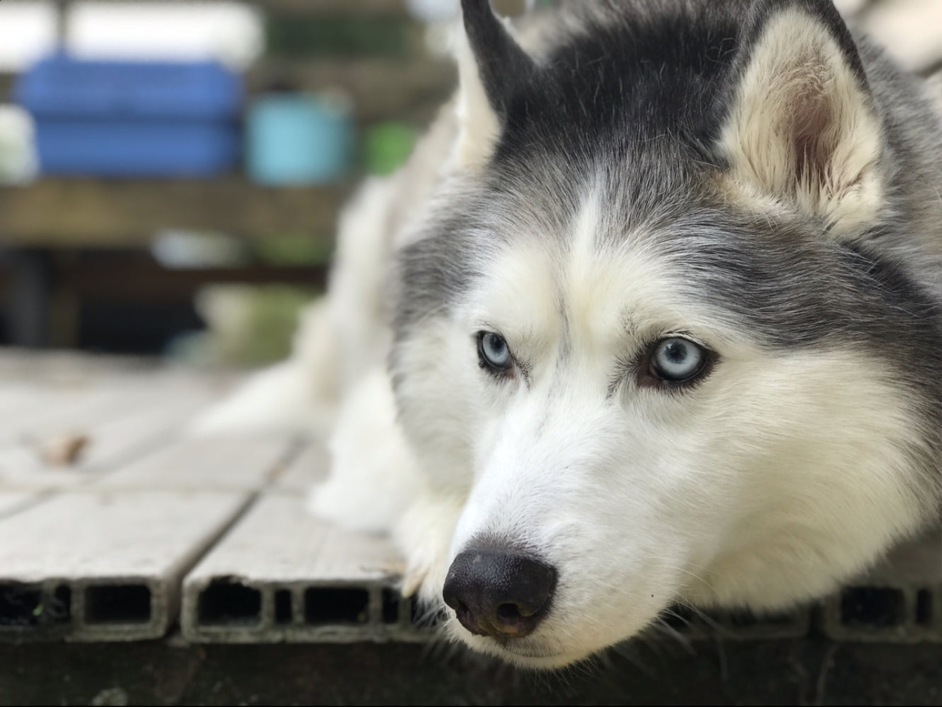 Husky laying on a deck.