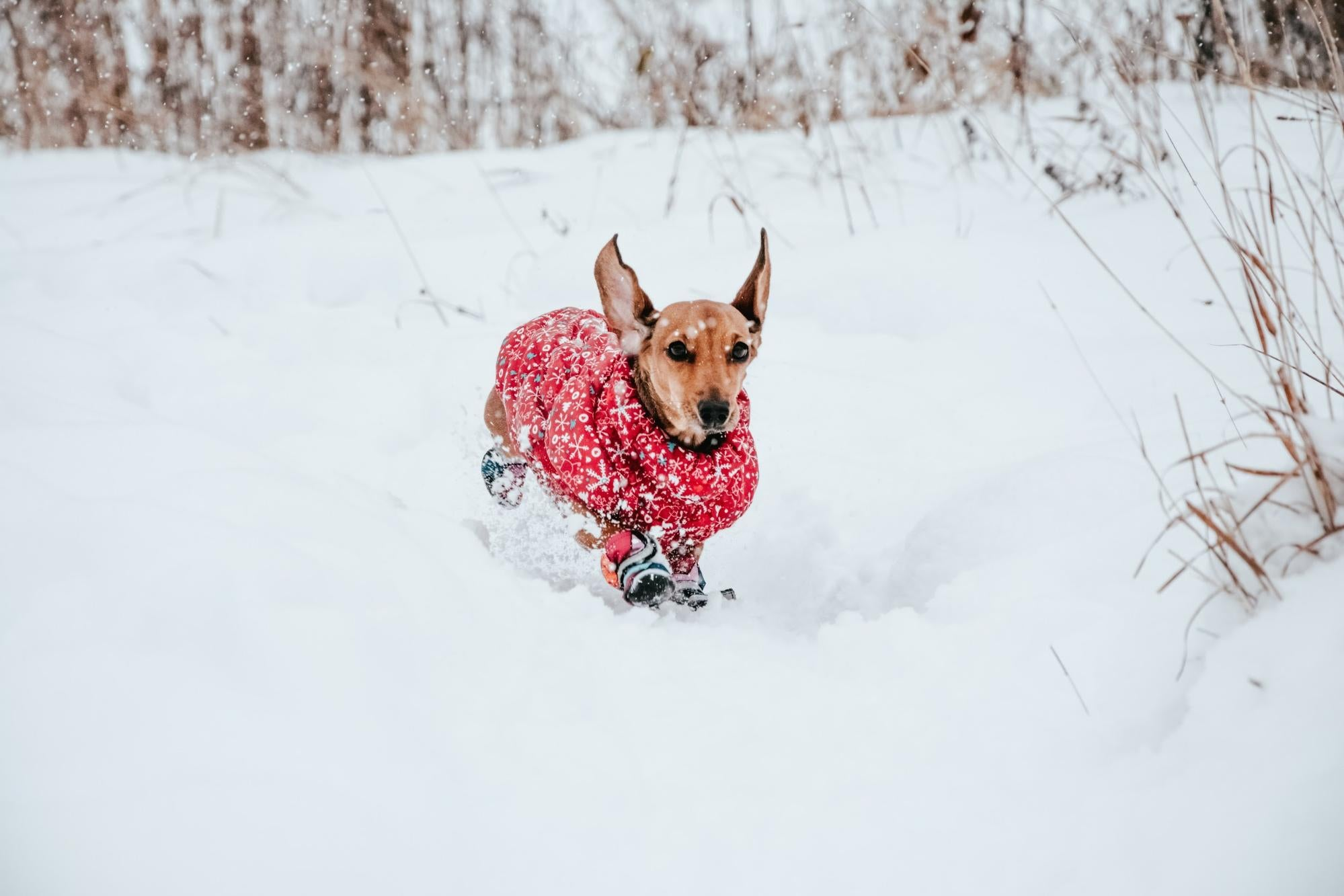 Small dog running in the snow.