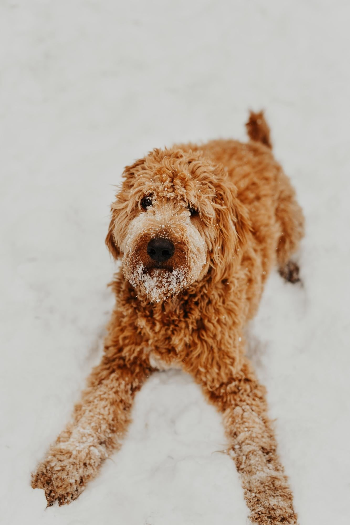 Large dog laying in the snow.
