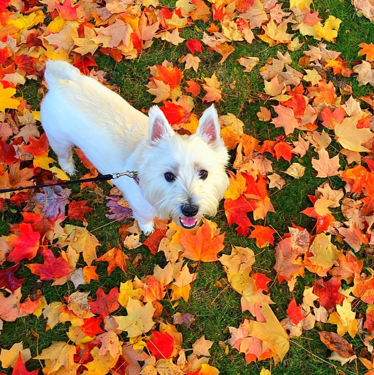 Dog standing in grass by fallen orange & red leaves.