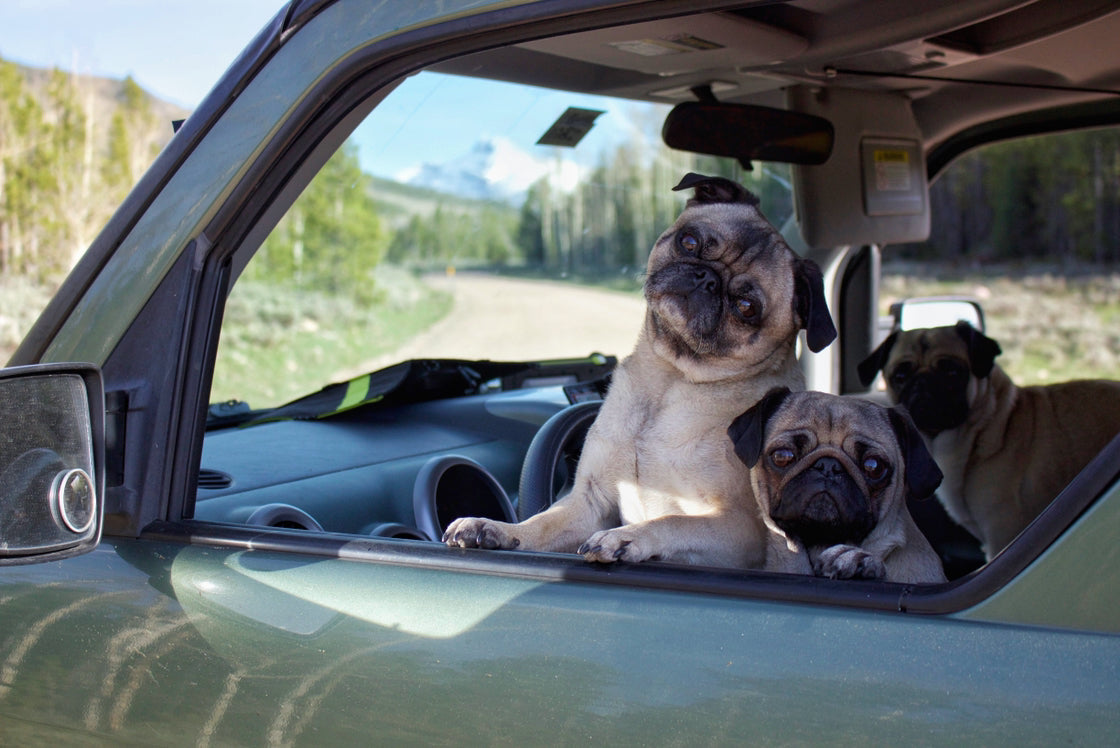 Three dogs looking out a car window.