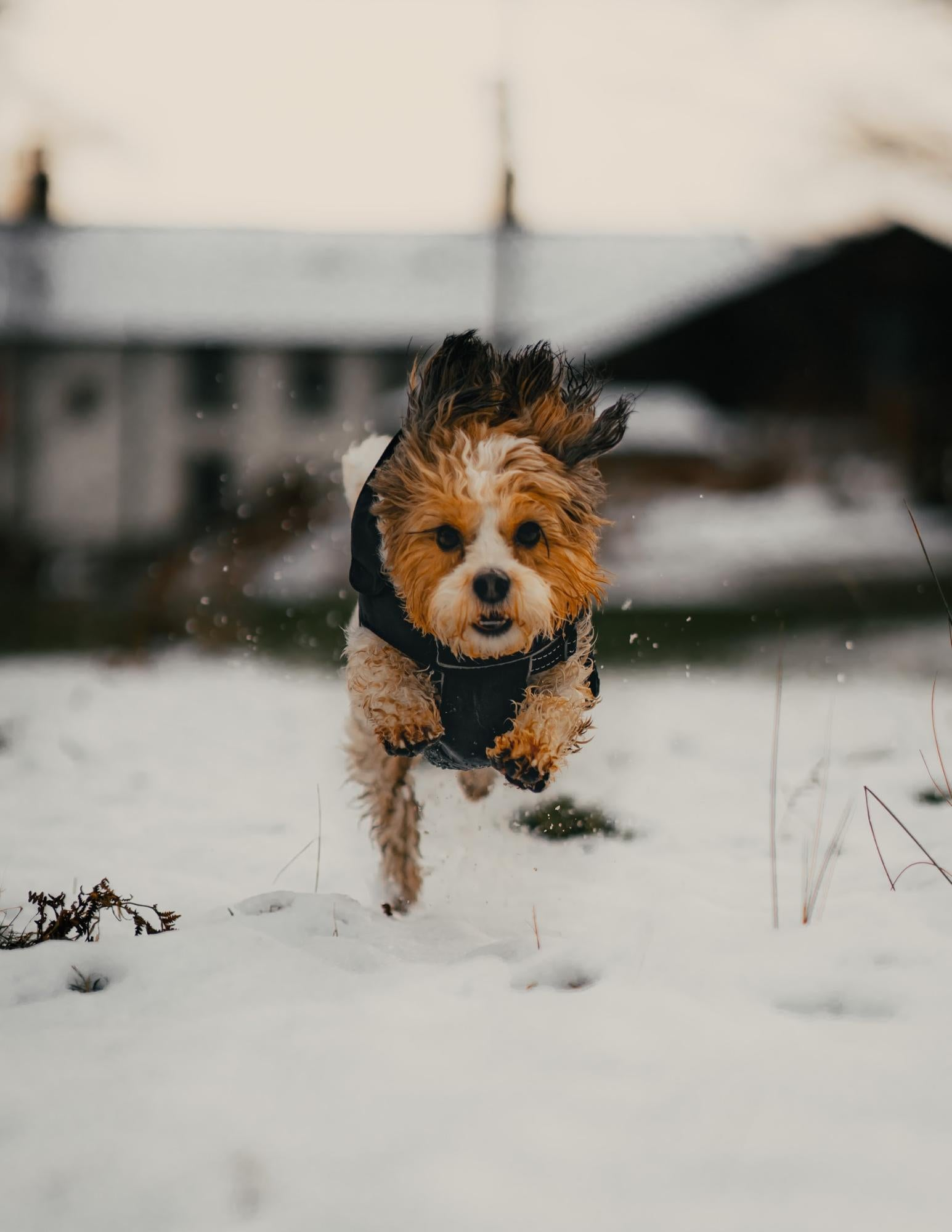 Small dog jumping in the snow.