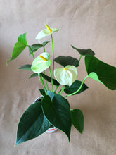"Load image into Gallery viewer, 4"" Anthurium"
