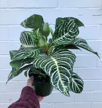 "Load image into Gallery viewer, 6"" Zebra Plant"