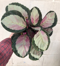 "Load image into Gallery viewer, 6"" Calathea Rosy"