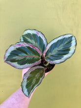 "Load image into Gallery viewer, 4"" Calathea Roseopicta"