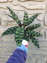 "Load image into Gallery viewer, 4"" Rattlesnake Calathea"