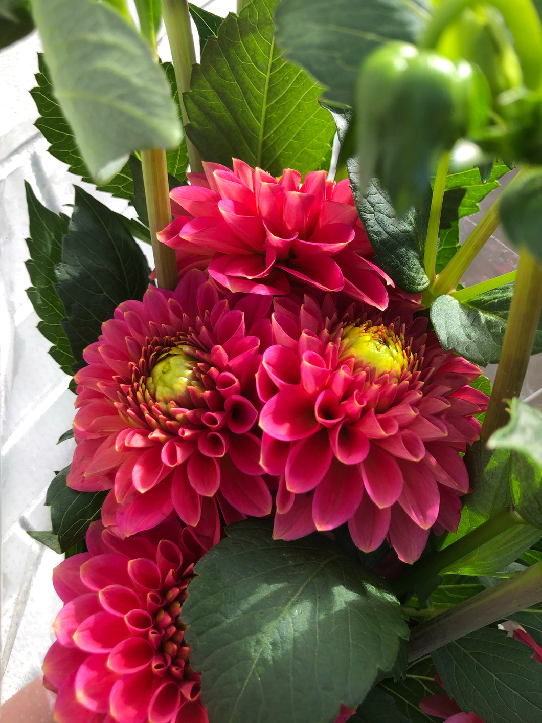 Local Dahlias